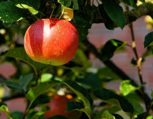 apple-tree-429213_640