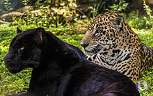 Melanism_in_Panthera_Onca