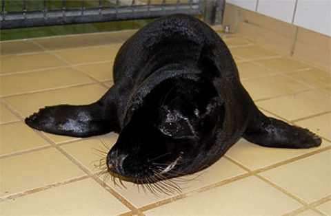 melanistic-black-seal