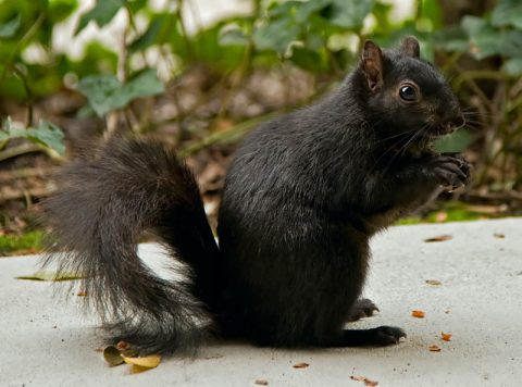 melanistic-black-squirrel
